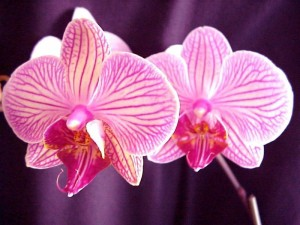 ORCHIDEES 3